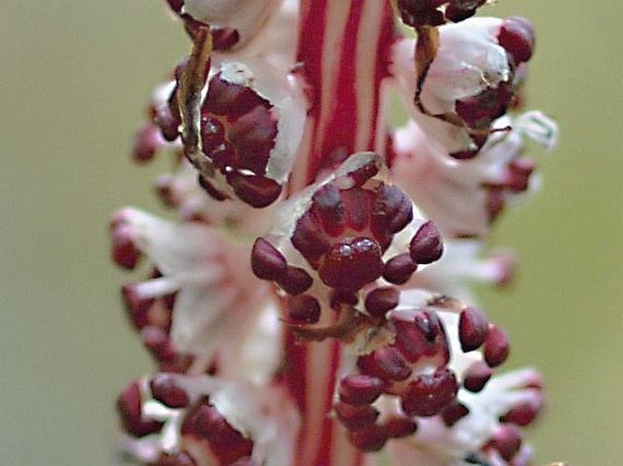 Allotropa virgata
