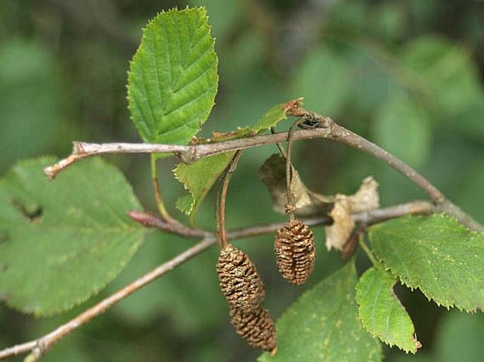 Alnus alnobetula