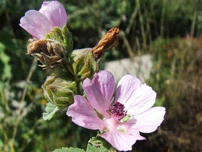 Althaea armeniaca