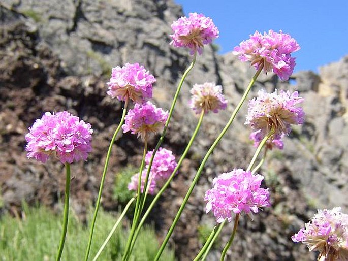 Armeria maderensis