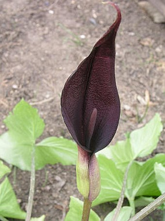 Arum purpureospathum