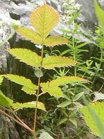 Aruncus vulgaris