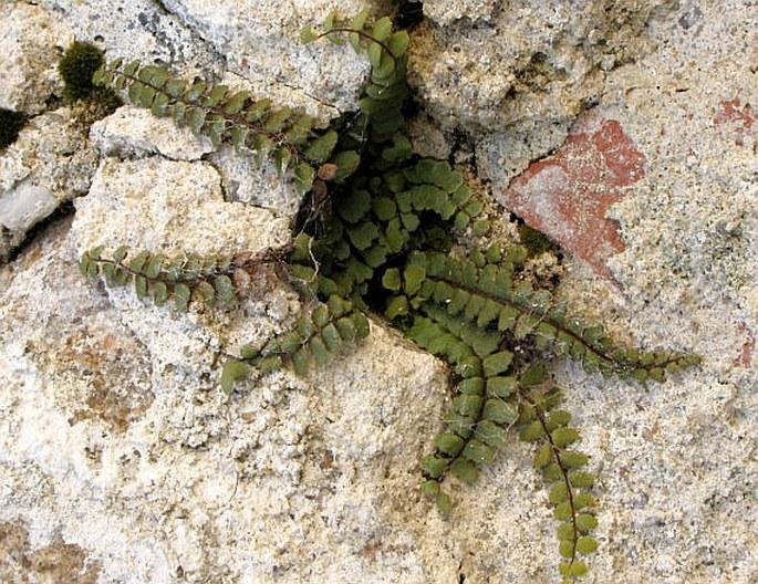 Trichomanes Subsp Asplenium Trichomanes Subsp