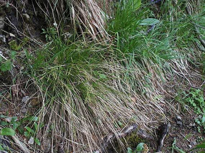 Carex brachystachys