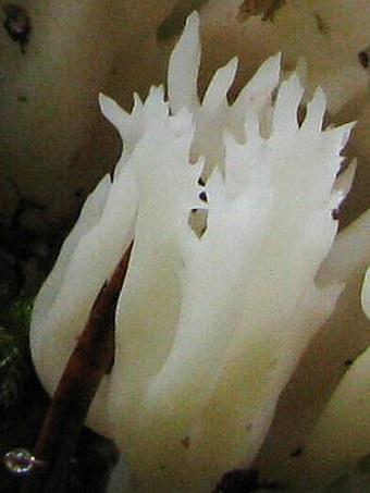 Clavulina coralloides