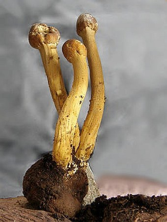 Elaphocordyceps capitata