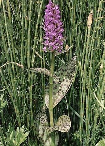 Dactylorhiza+majalis