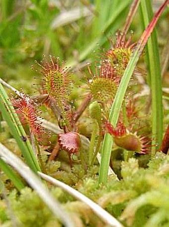 Drosera rotundifolia