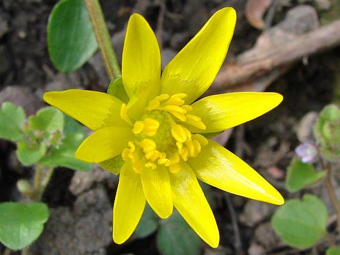 Ficaria verna subsp. bulbifera