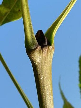 Fraxinus excelsior