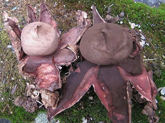 Geastrum rufescens