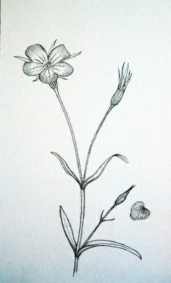 Soutez Nejlepsi Botanicka Ilustrace Roku 2012 Zuzana Klagova