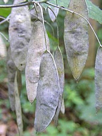 Lunaria rediviva
