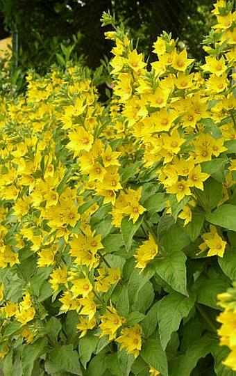 Žlutá trvalka