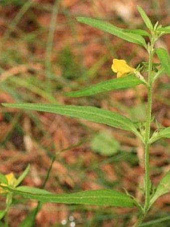 Melampyrum sylvaticum