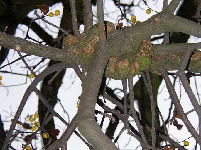 Loranthus europaeus