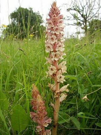 Orobanche alba major
