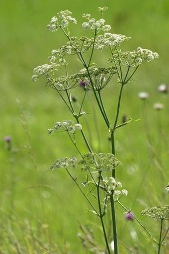 Angelica palustris