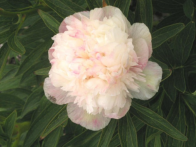 Paeonia officinalis ´Alba Plena´