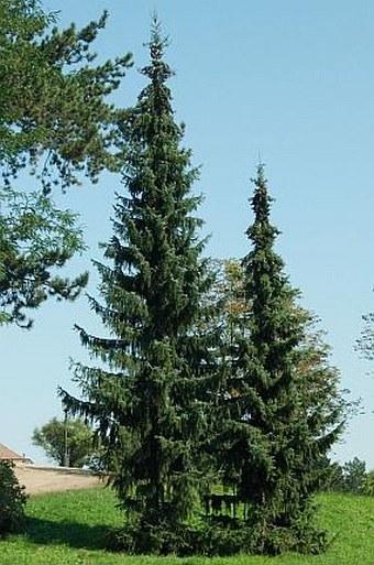 Picea omorika