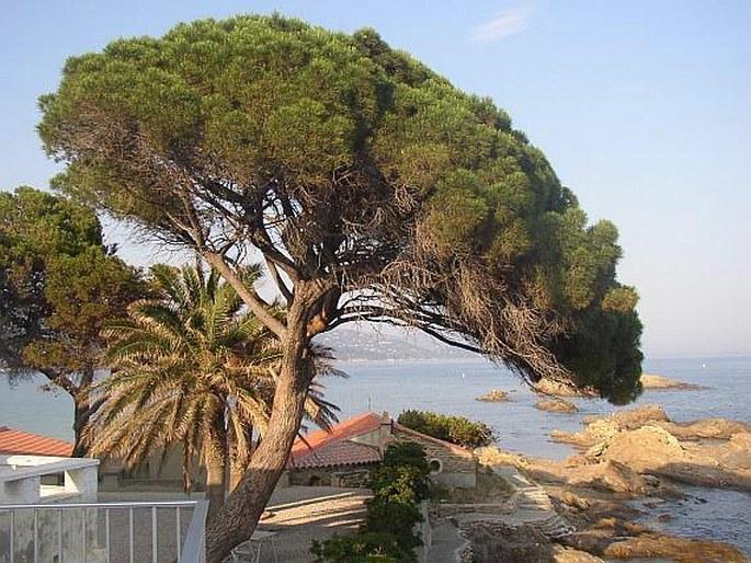 Jardinería - Página 15 Pinuspineaherb1