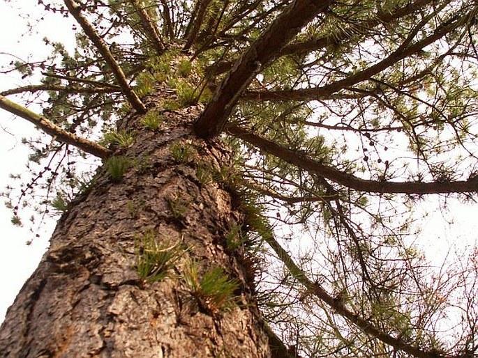 Pinus rigida