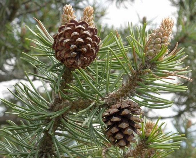 Pinus uncinata subsp. uliginosa