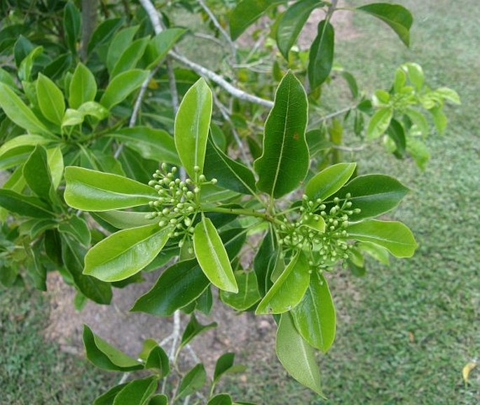 Pittosporum wrightii