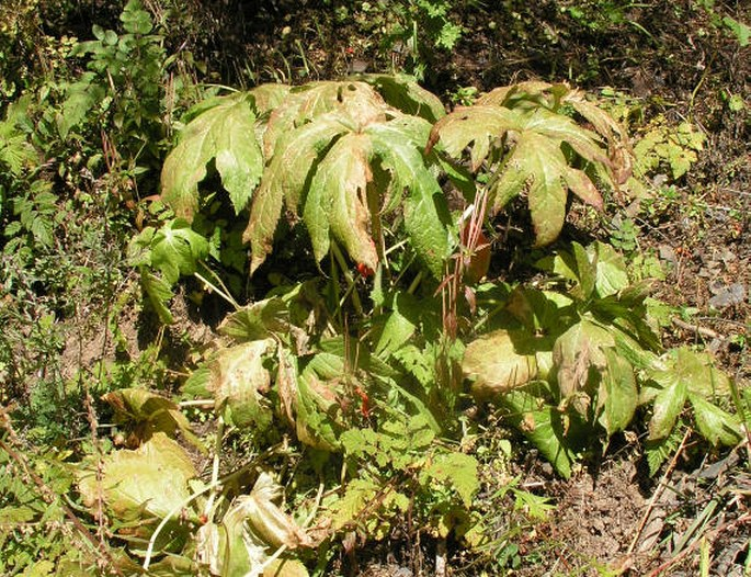 Podophyllum hexandrum