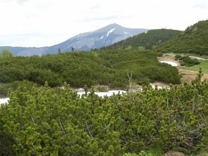 Pulsatilla alpina subsp. schneebergensis