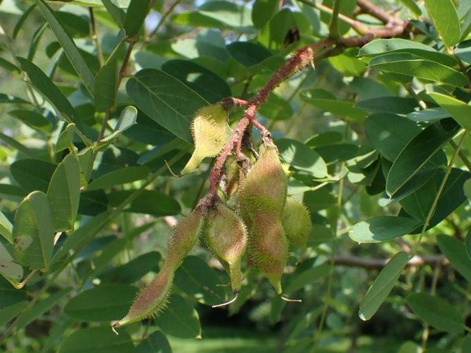 Robinia viscosa (clammy locust): Go Botany
