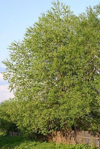Salix euxina