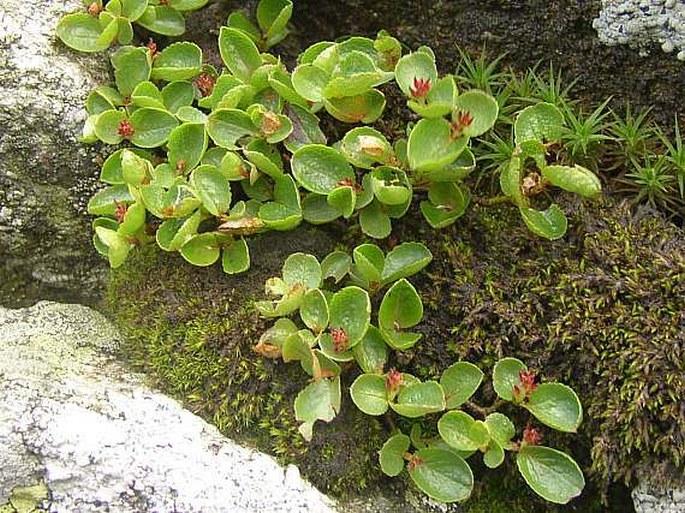 Salix herbacea l. – vrba bylinná / vŕba bylinná