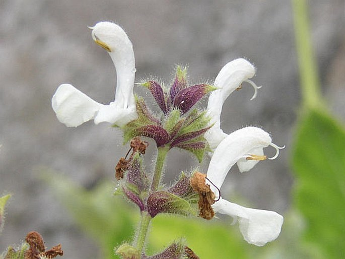 Salvia broussonetii
