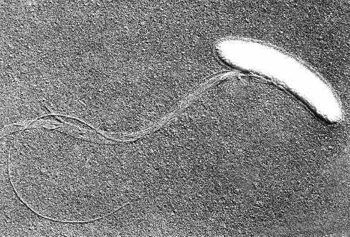 A mouth bacteria with a flagellum