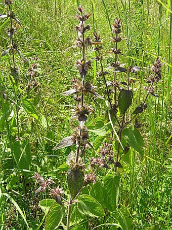 Stachys alpina