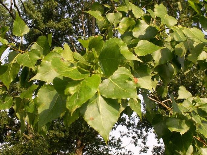 Populus × canadensis