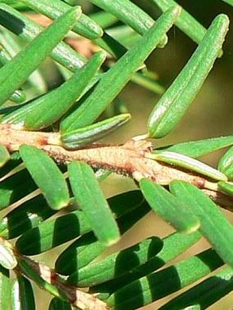 Tsuga canadensis
