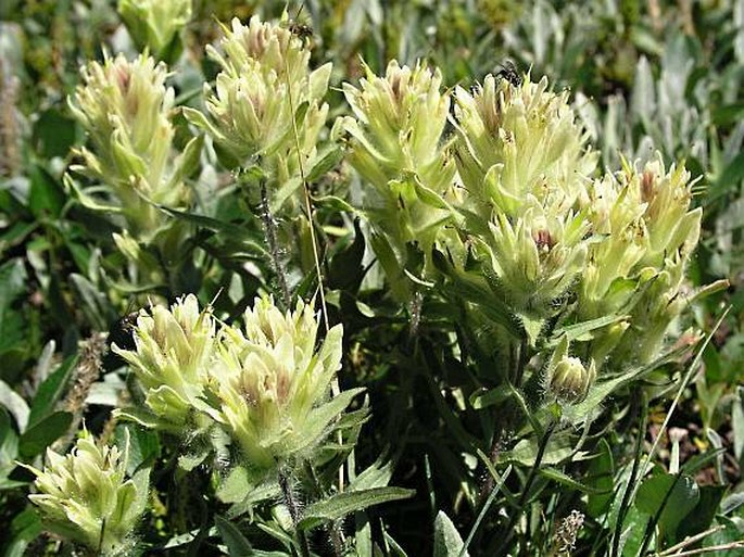 Castilleja occidentalis