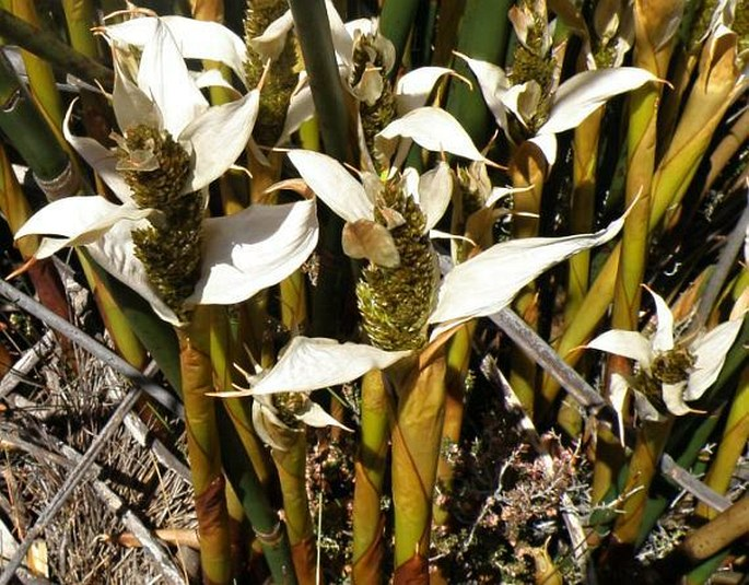 Chondropetalum mucronatum