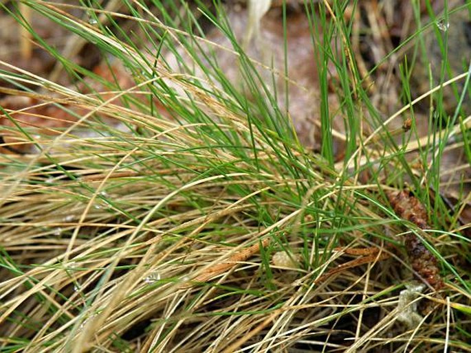 Festuca filiformis