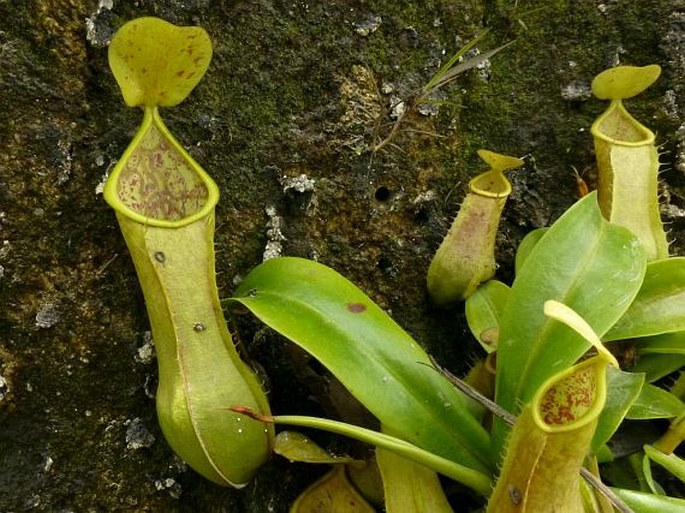 Nepenthes tobaica