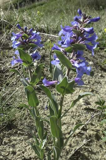 Penstemon nitidus