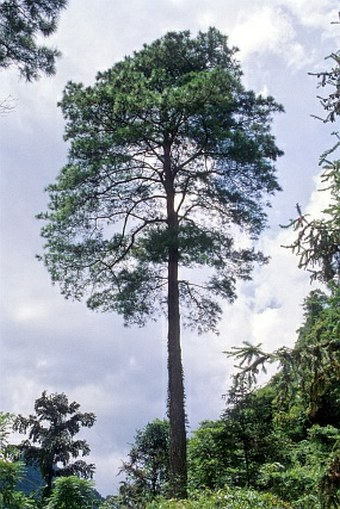 Pinus massoniana