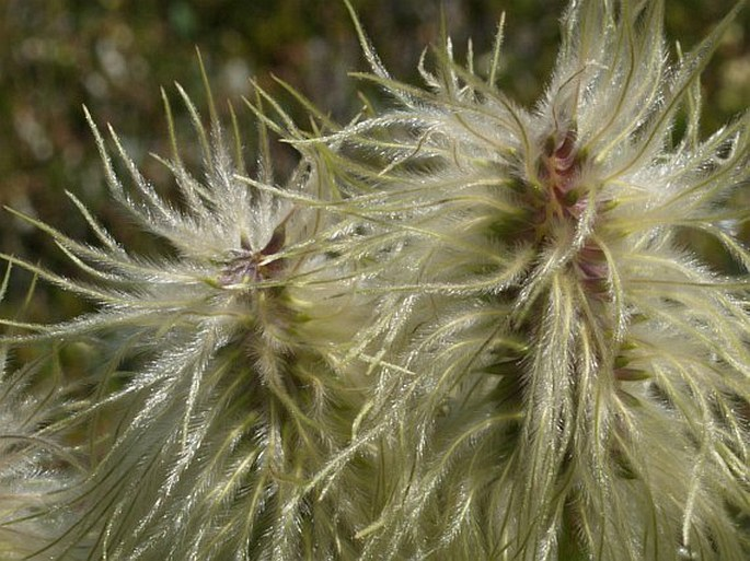 Pulsatilla occidentalis