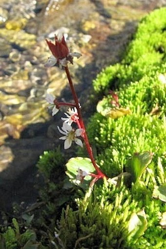 Saxifraga occidentalis