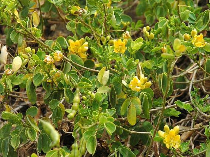 Senna bicapsularis