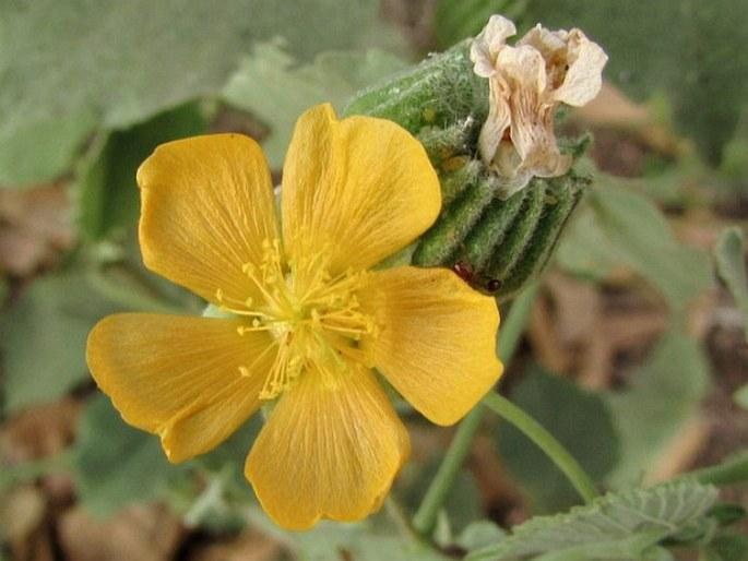 Abutilon indicum