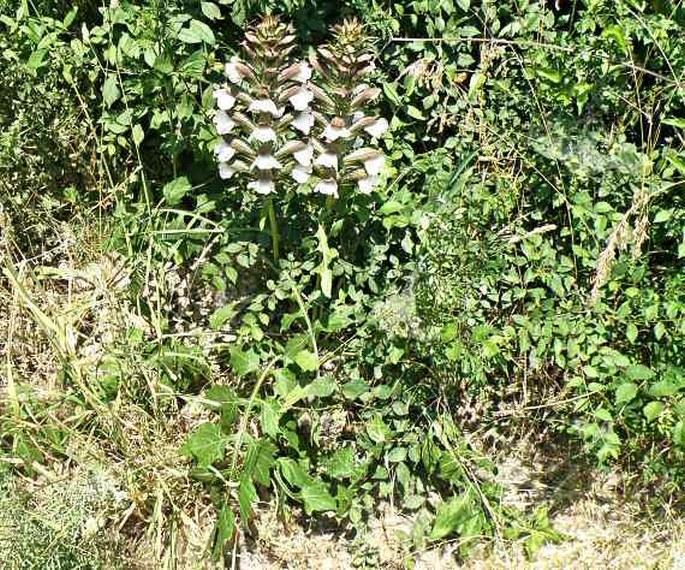 Acanthus hungaricus