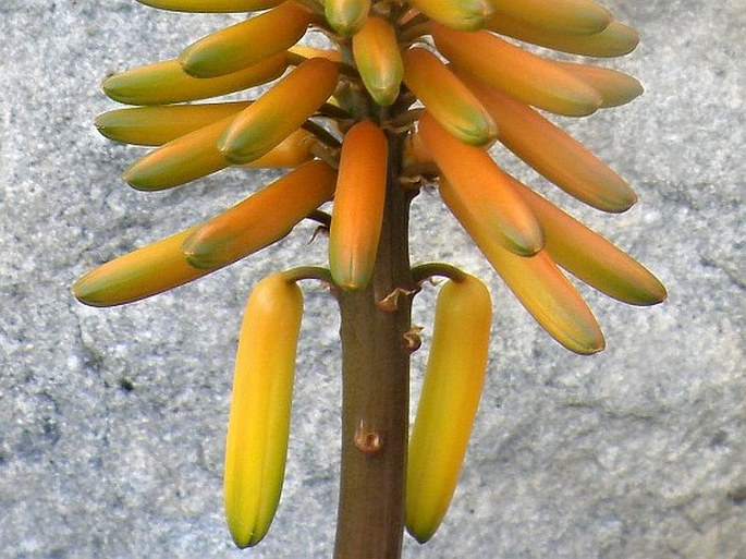 Aloe commixta